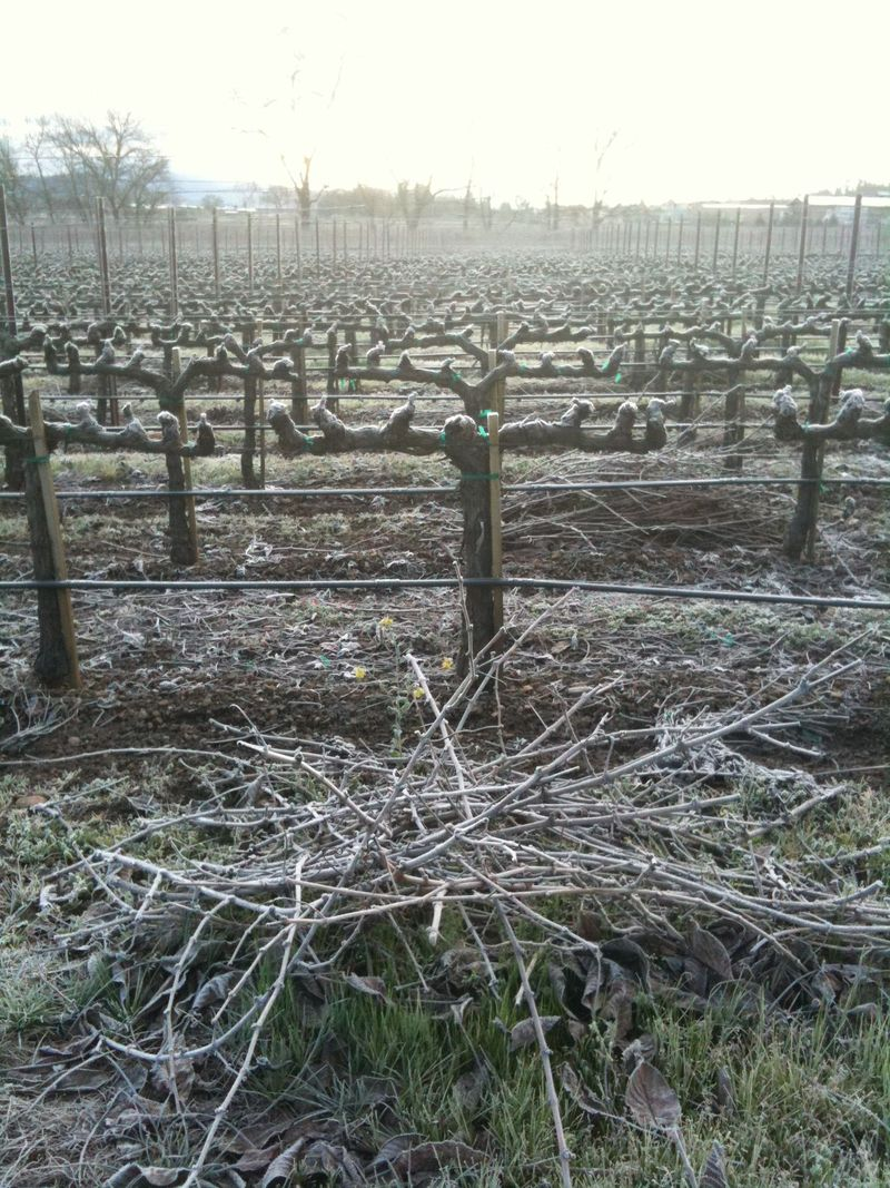 Grapecanes in frost