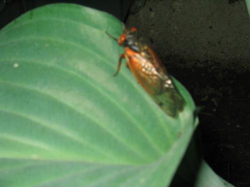 cicada_time