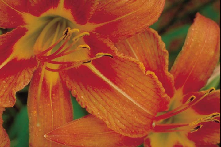 day_lilies