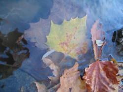 Leaves_in_water