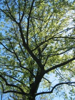 Michigan_tree