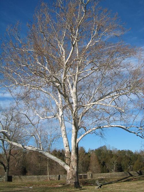 Abbey_tree